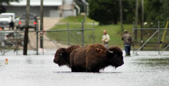 Authorities worked to contain two buffalo yesterday that had been roaming the streets of flooded Windsor, N.C.