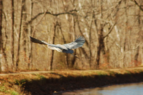 Great Blue Heron over C&O Canal
