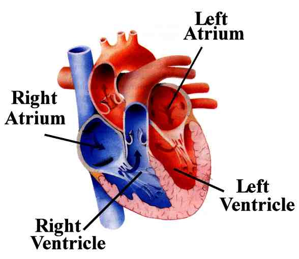 human body heart. Human Body Notes