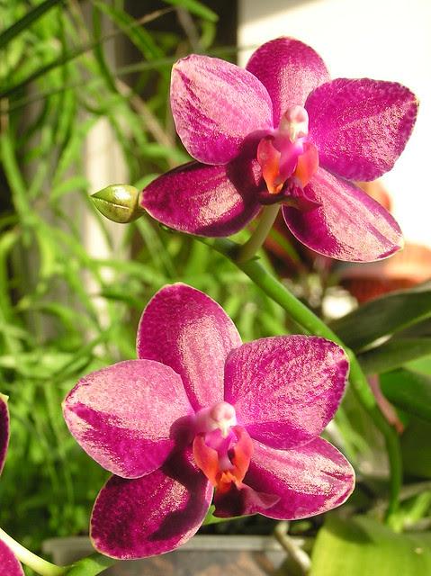 Phalaenopsis 'Sogo Relex'