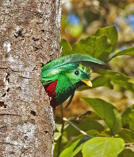File:Resplendent Quetzal.jpg