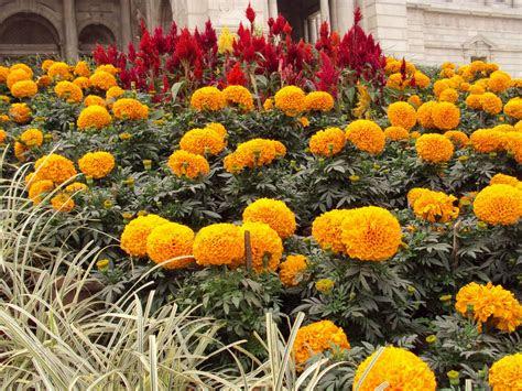 marigold flower  genda phool graphic design hub