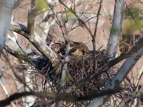 Red-Tailed Hawk in Highbridge Park Nest