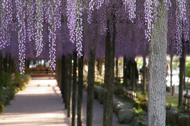 wisteria trellis #2