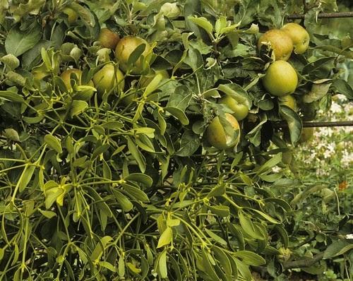 David_Bullock_-_Attingham_Park_-_mistletoe_in_orchard