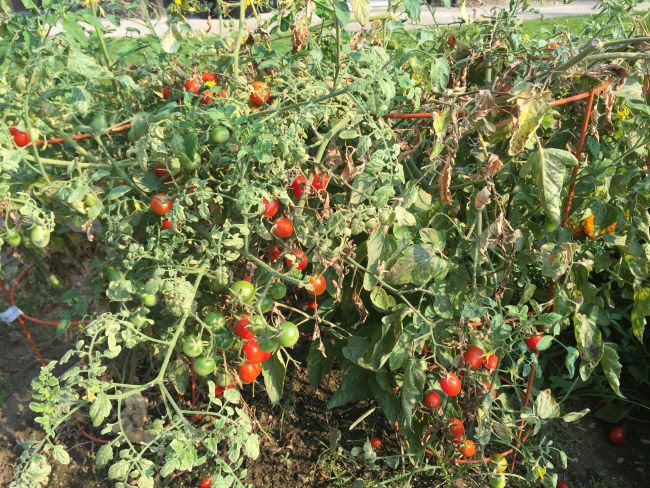 How Far Apart Do You Plant Cherry Tomatoes | Cromalinsupport
