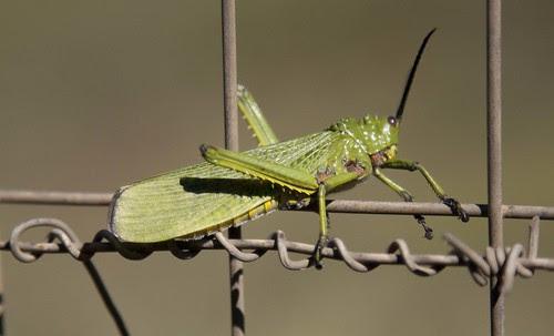 Locust, KZN South Africa