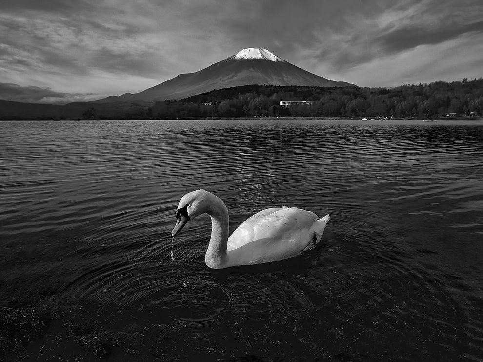 Swan and Mount Fuji, Japan