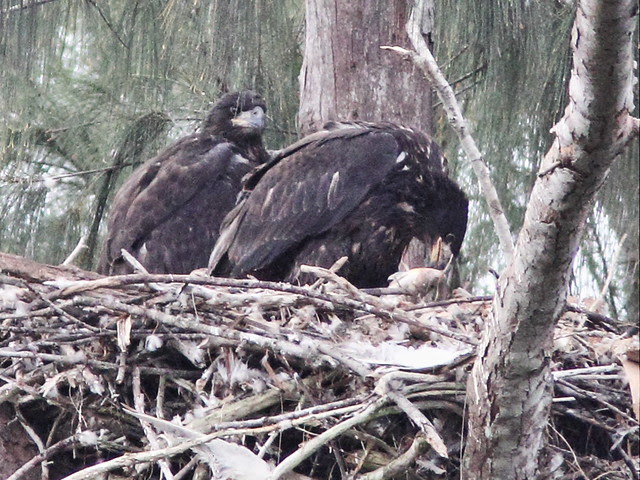 Bald Eaglet Honor eating fish 20140317