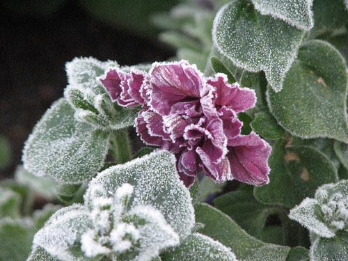 Frosty Flowers 101709 004