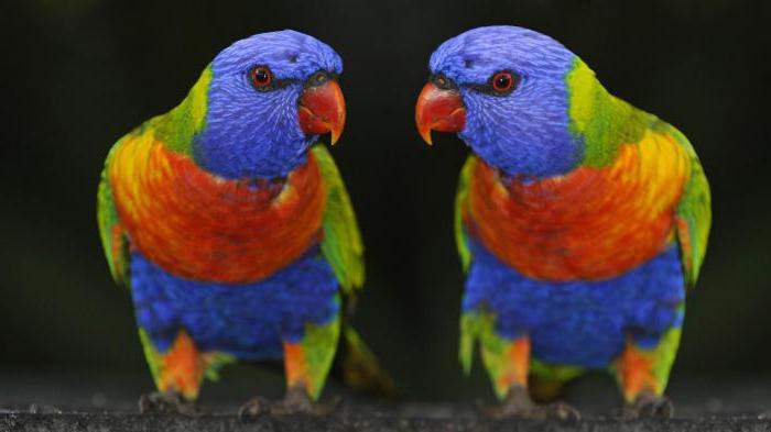 амазонский попугай