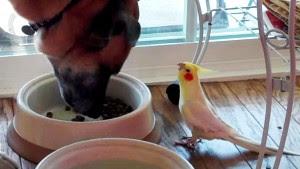 παπαγαλάκι-τραγουδά-στον-σκύλο-όσο-τρώει-βίντεο