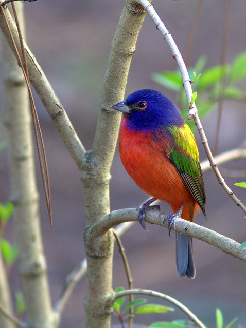 Painted Bunting 3-20130310