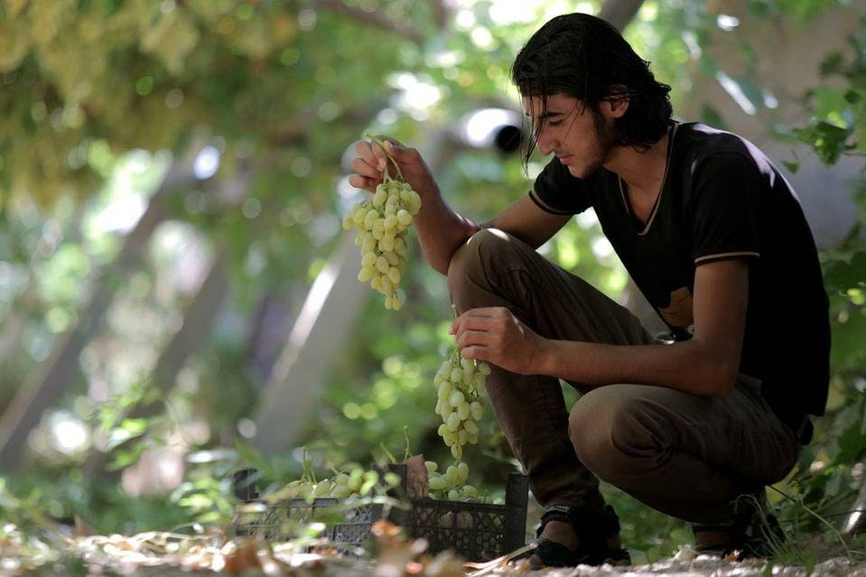 Islamic State propaganda is churning out idyllic farmyard scenes, like this grape harvest, that try to portray a utopian view of life under the caliphate.