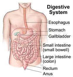 Image result for digestive system