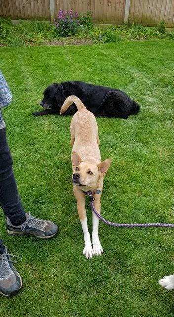 Pip – 3 year old female Terrier Cross
