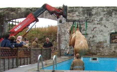 The escaped bull being lifted out of the swimming pool