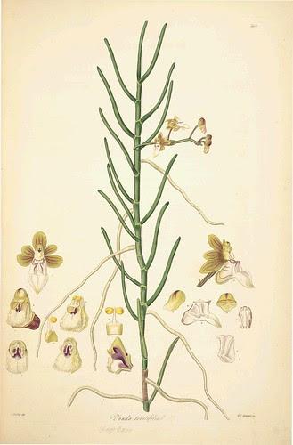 Vanda teretifolia