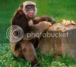 El chimpancé Tiao, casi alcalde