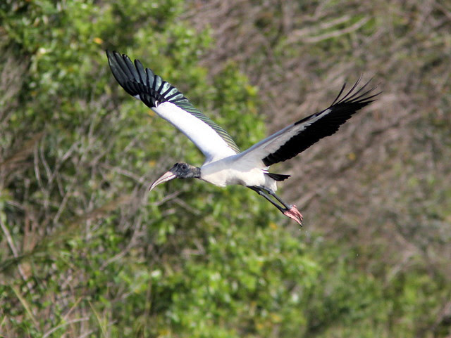 Wood Stork in flight 20130406