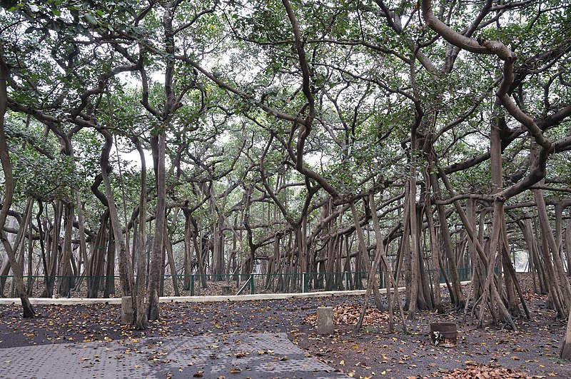 Great Banyan Tree - Howrah 2011-02-20 1661.JPG