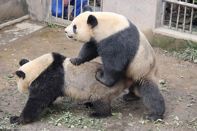 Panda Lu Lu (right) mated with female partner Zhen Zhen for nearly eight minutes, setting a new centre record