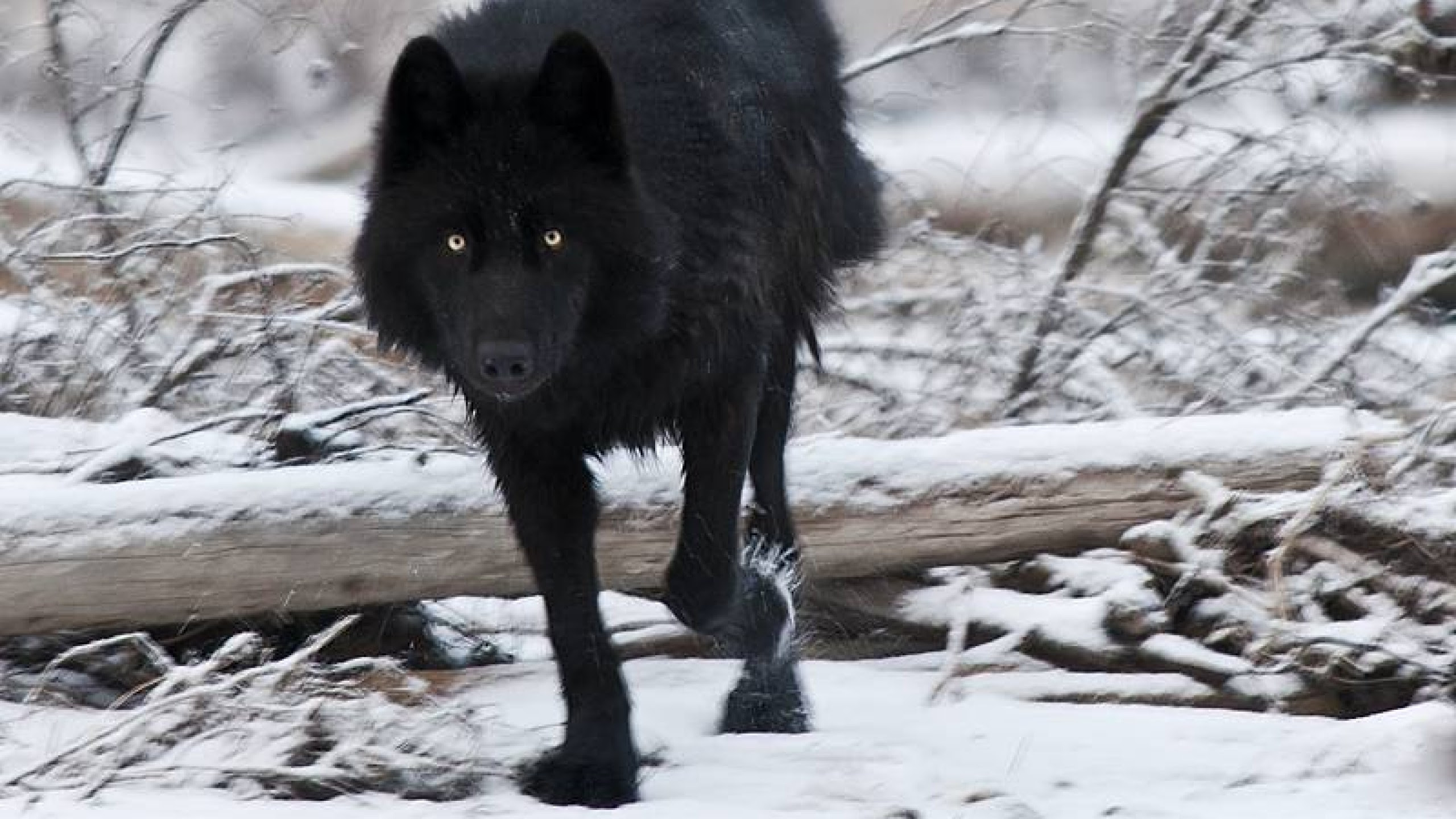 Black Wolf Wallpaper Hd Iphone Wallpaper Hd For Android