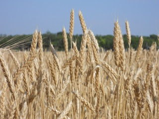 2012 Wheat Crop More Wheat Heads in May