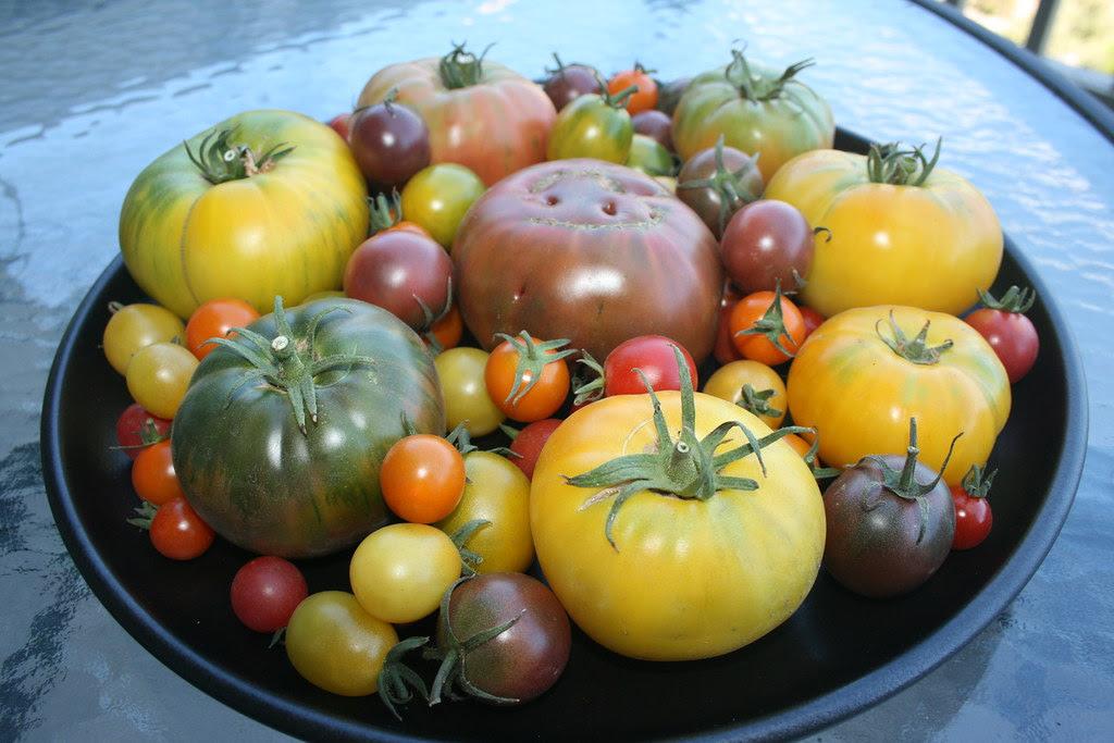 Laura McIntosh heirloom tomatoes