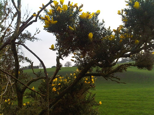 gorse flowering Oct 11