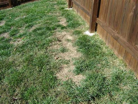 Lawn Problems: Zoysia Grass
