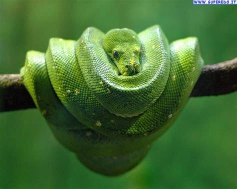 snake wallpapers  desktop wallpapersafari