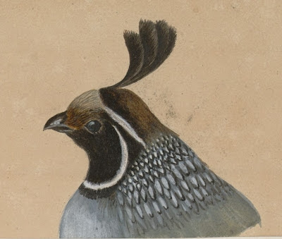 quail head drawing