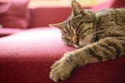 Yakin, Anda Sudah Benar-benar Mengenal Kucing?