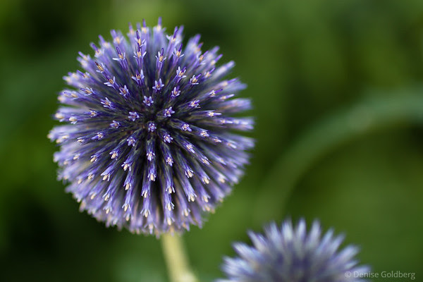 purple, spiky flower