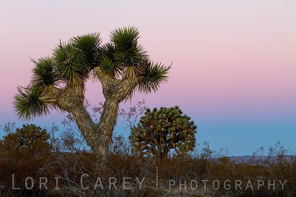 Joshua Trees and earth shadow at dawn, Mojave Desert