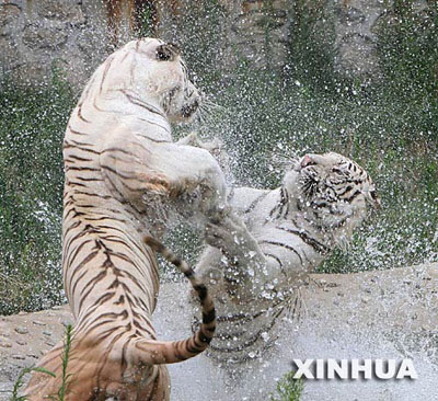 Two white tigers play water to cool themselves in the Qinling Wild Animal