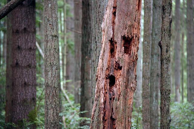 IMG_3600 woodpecker tree