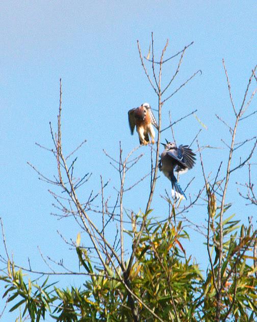 Ed Gaillard: birds &emdash; Kestrel vs. Jay