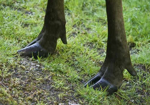 moose feet!