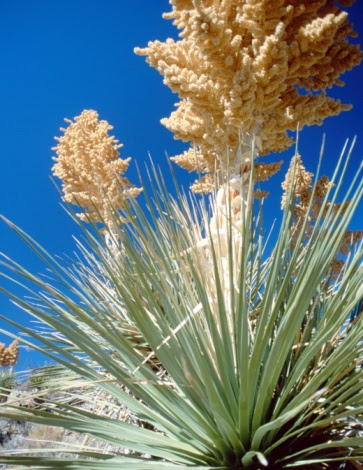How To Remove The Babies From A Yucca Plant Hunker