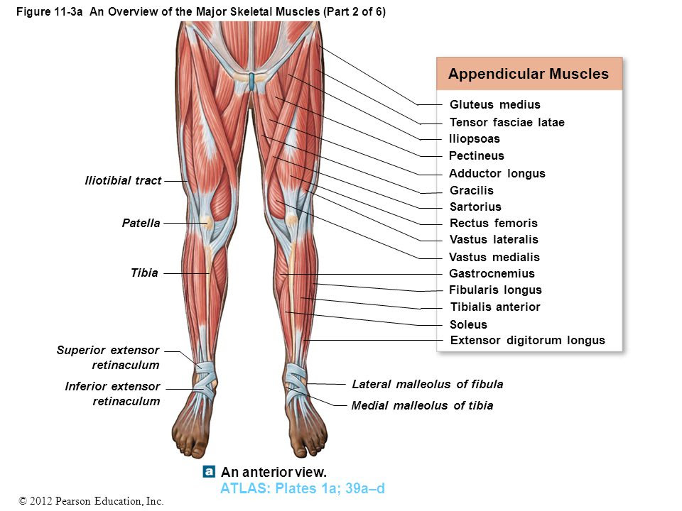 Figure+11 3a+An+Overview+of+the+Major+Skeletal+Muscles+%28Part+2+of+6%29