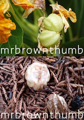 how to collect and save nasurtium seeds