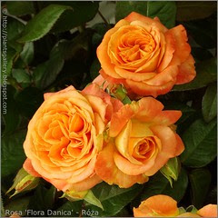 'Flora Danica'  2