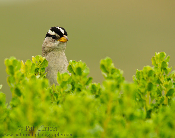 White-crowned sparrow peeking out from behind coyote brush