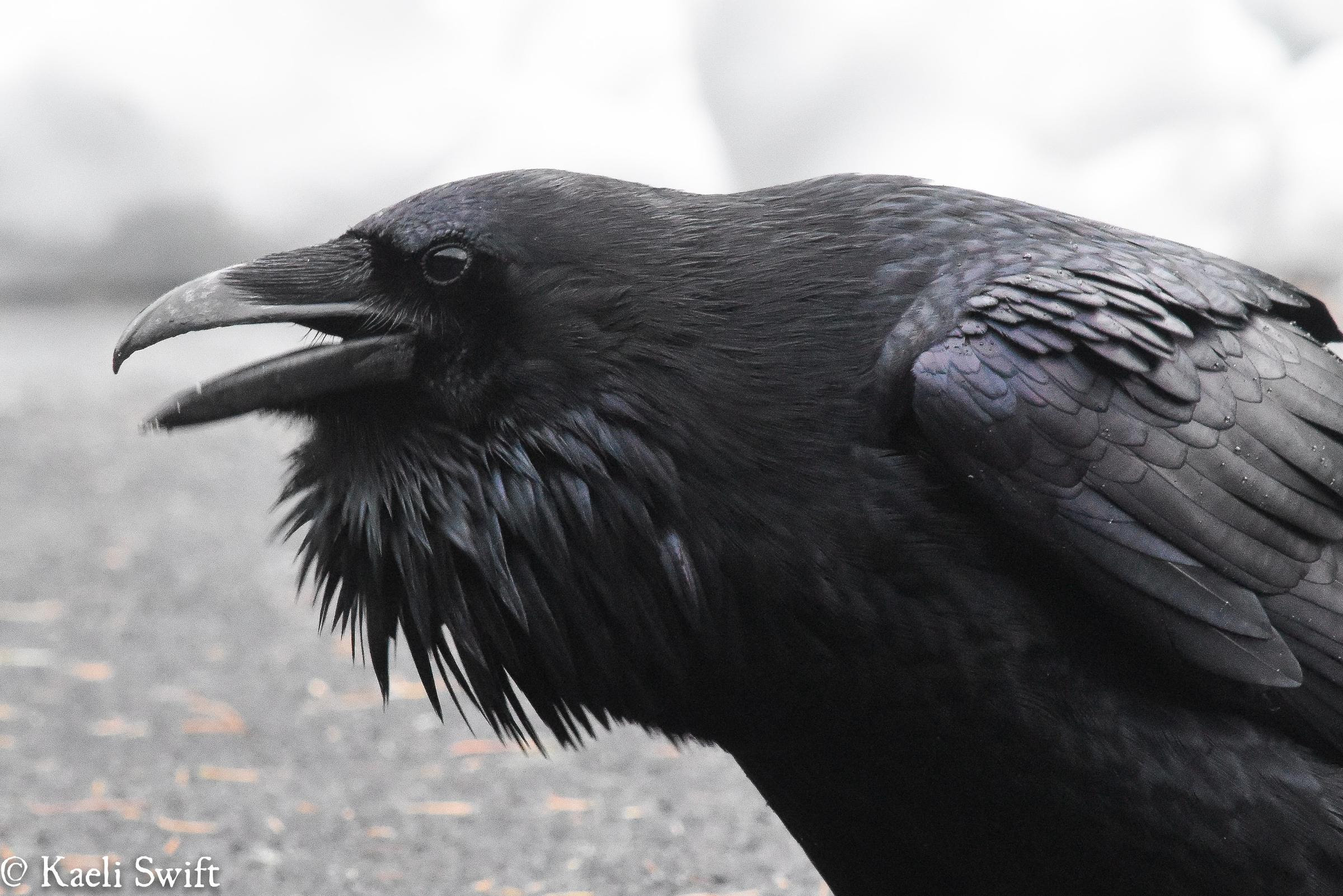 Image result for crows