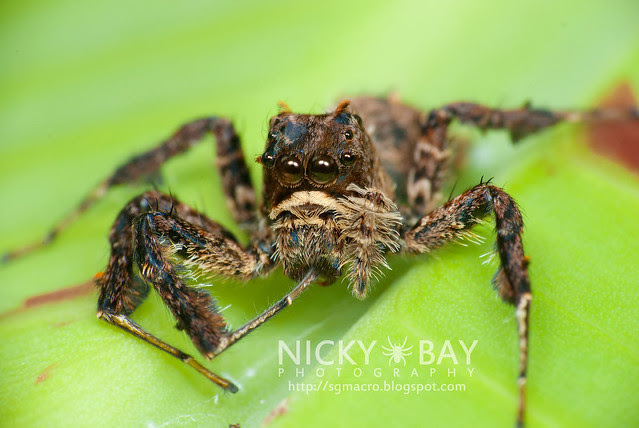 Jumping Spider (Portia sp.) - DSC_5744