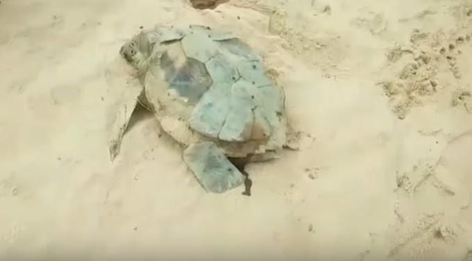 La dramática historia de una tortuga más hallada sin vida en una playa por culpa del ser humano
