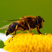 Syrphidae - blomsterflue