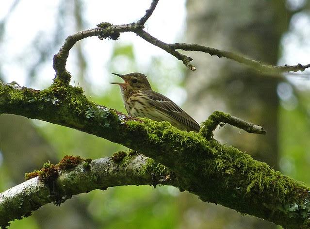 27388 - Tree Pipit, RSPB Dinas